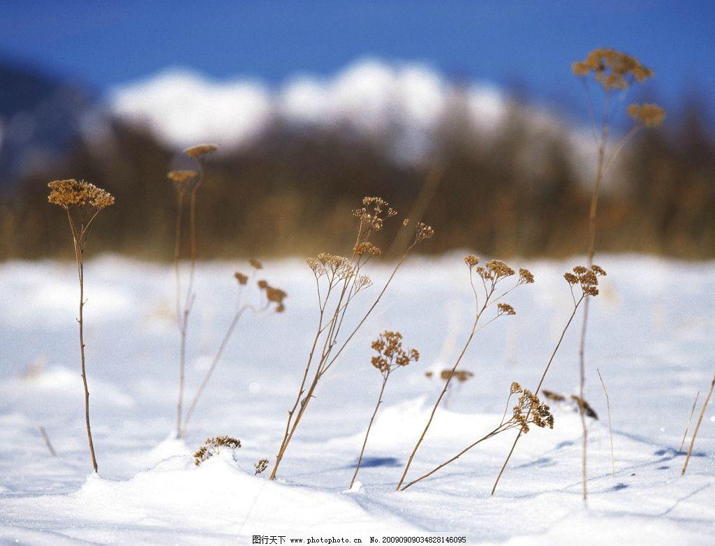 冬景 雪地 蓝天 杂草 自然风景 自然景观 摄影 350dpi jpg