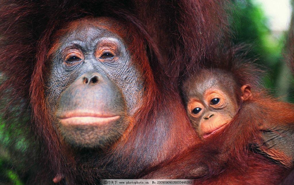 猴子 两只猴 玩耍的猴 两只猴子 母猴与子猴 小猴 野生动物 生物世界