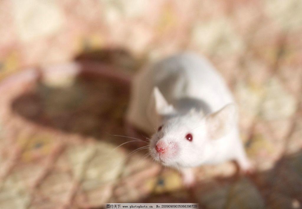 白鼠 老鼠 鼠类 啮齿目 实验动物 野生动物 生物世界 摄影 300dpi jpg