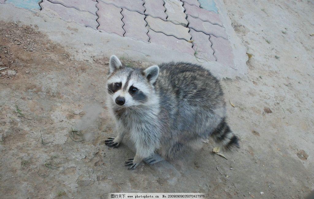 """狐狸""""精"""" 灰色 狡猾 虎视眈眈 野生动物 生物世界 摄影 300dpi jpg"""