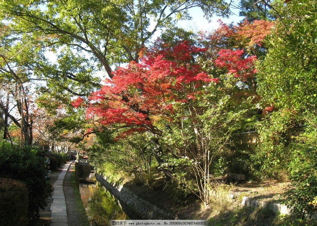 金秋美景 红叶 枫树 金黄 蓝天 秋天 秋高气爽 公园 小径 自然风景