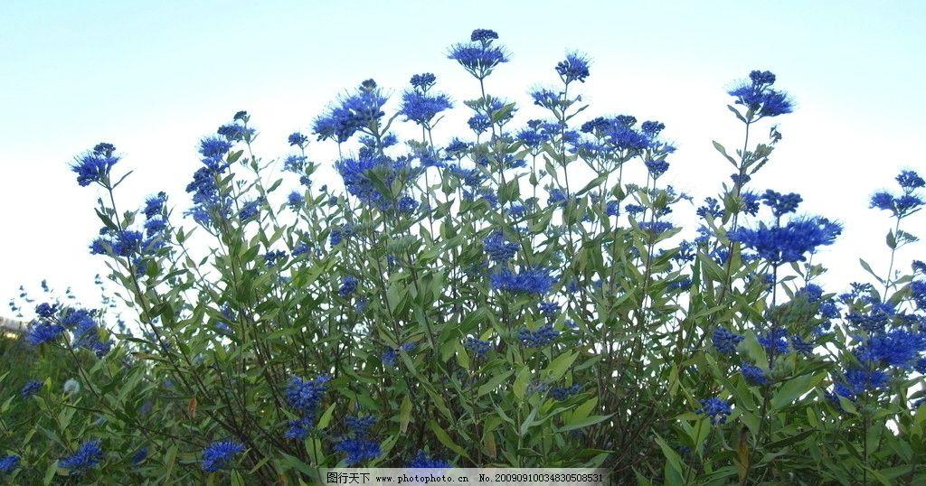 篮花草 秋天的篮花草 自然风景 自然景观 摄影 180dpi jpg