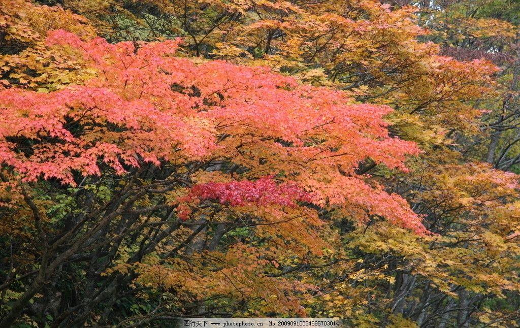 红叶树与枫树区别