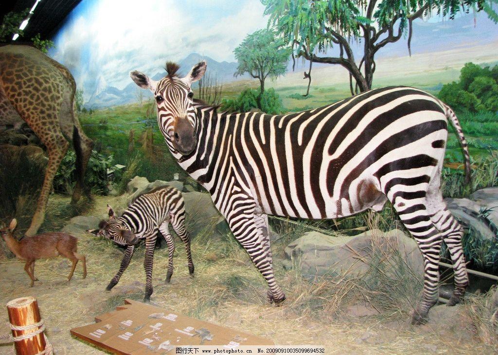 斑马 大小斑马 小鹿 树 草 动物 野生动物 生物世界 摄影 180dpi jpg