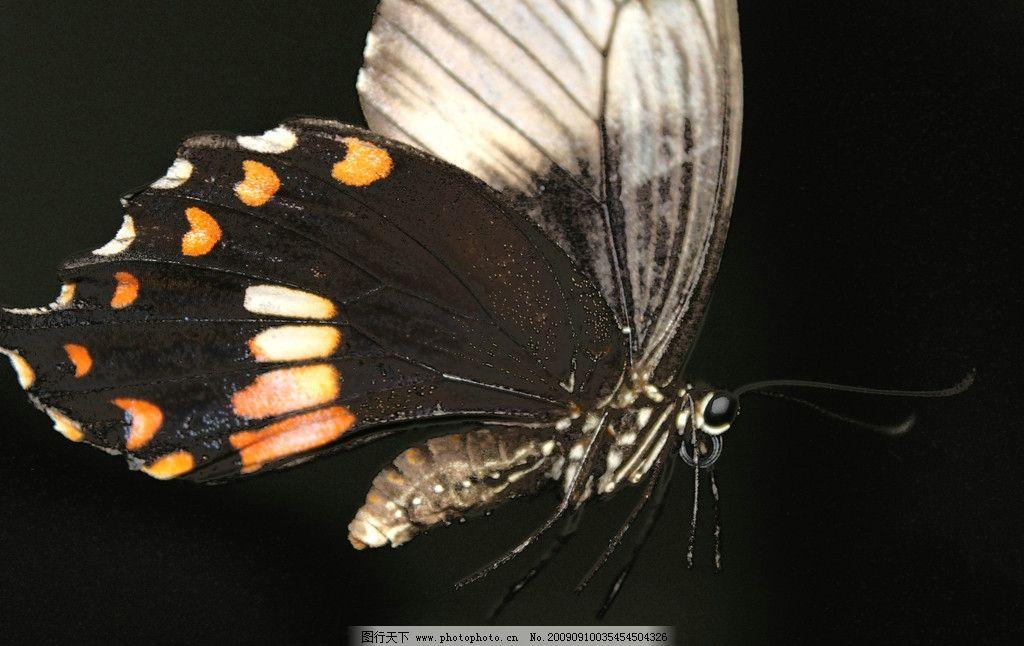 黑色蝴蝶 摄影图片 飞行动物