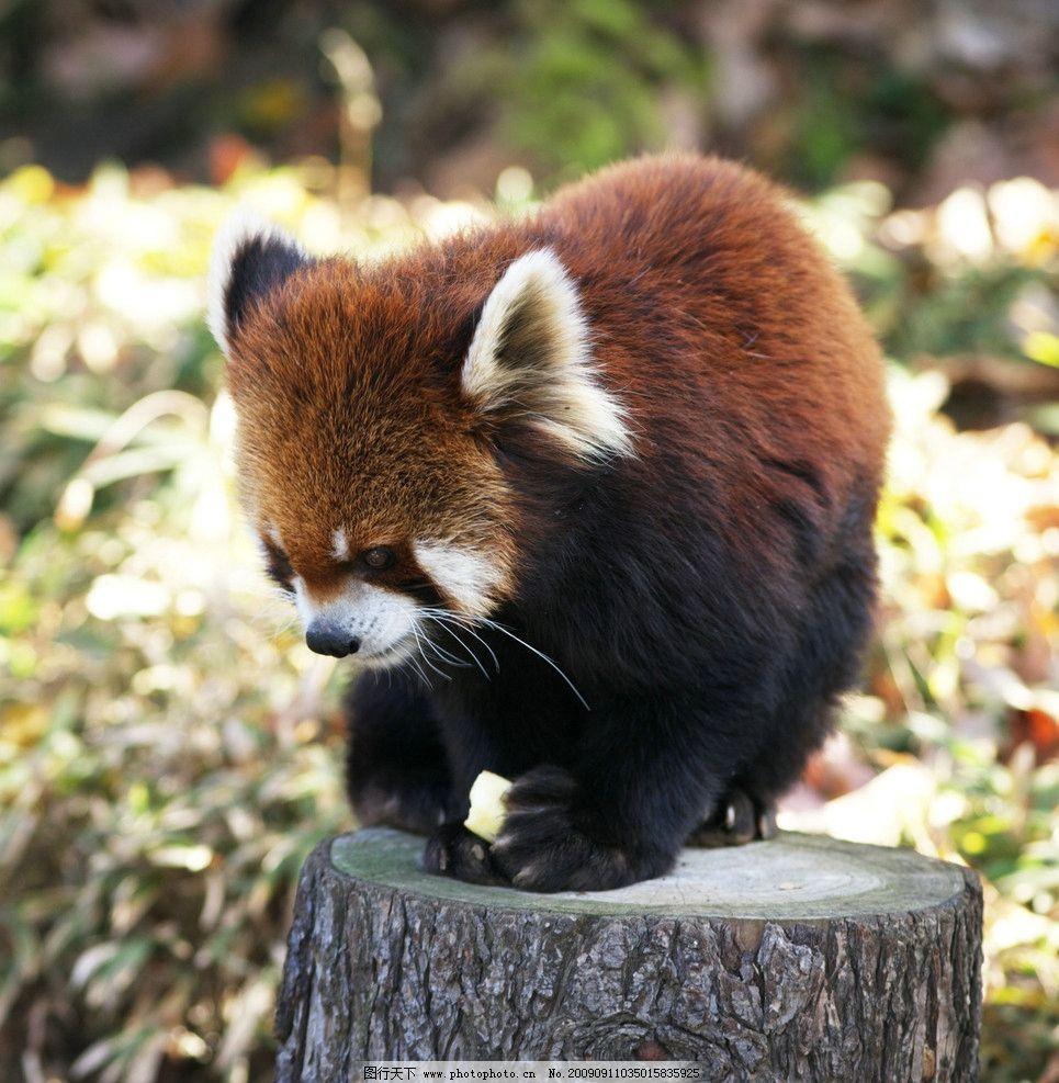 小熊猫图片_野生动物_生物世界
