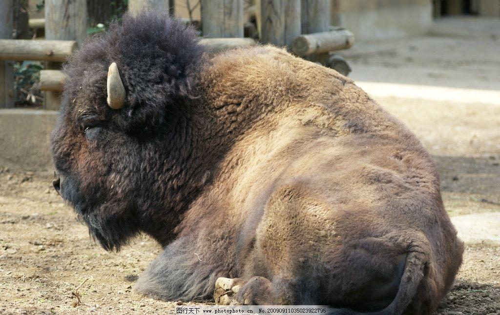 美洲野牛 偶蹄目 牛科