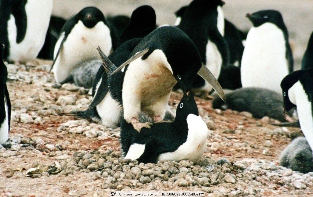 企鹅 成群结队 漫山遍野 企鹅群 亲密 野生动物 生物世界 摄影