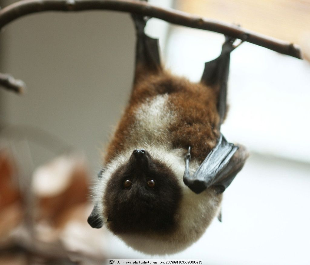 狐蝠 蝙蝠 属脊椎动物 哺乳纲 翼手目 狐蝠科 濒危物种 野生动物 生物