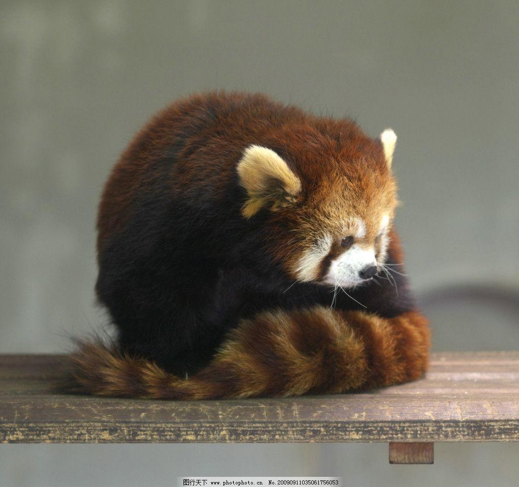 红熊猫 山门蹲 山闷蹲 九节狼 松狗 金狗 火狐 浣熊类 野生动物 生物