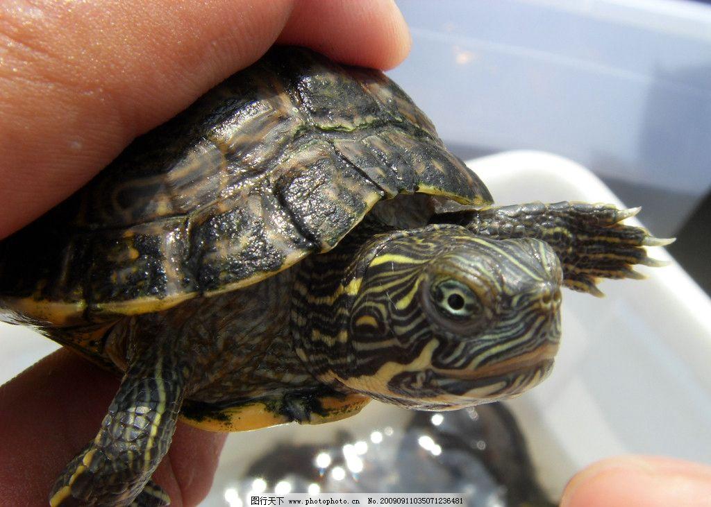 甜甜圈龟 水龟 爬行动物图片