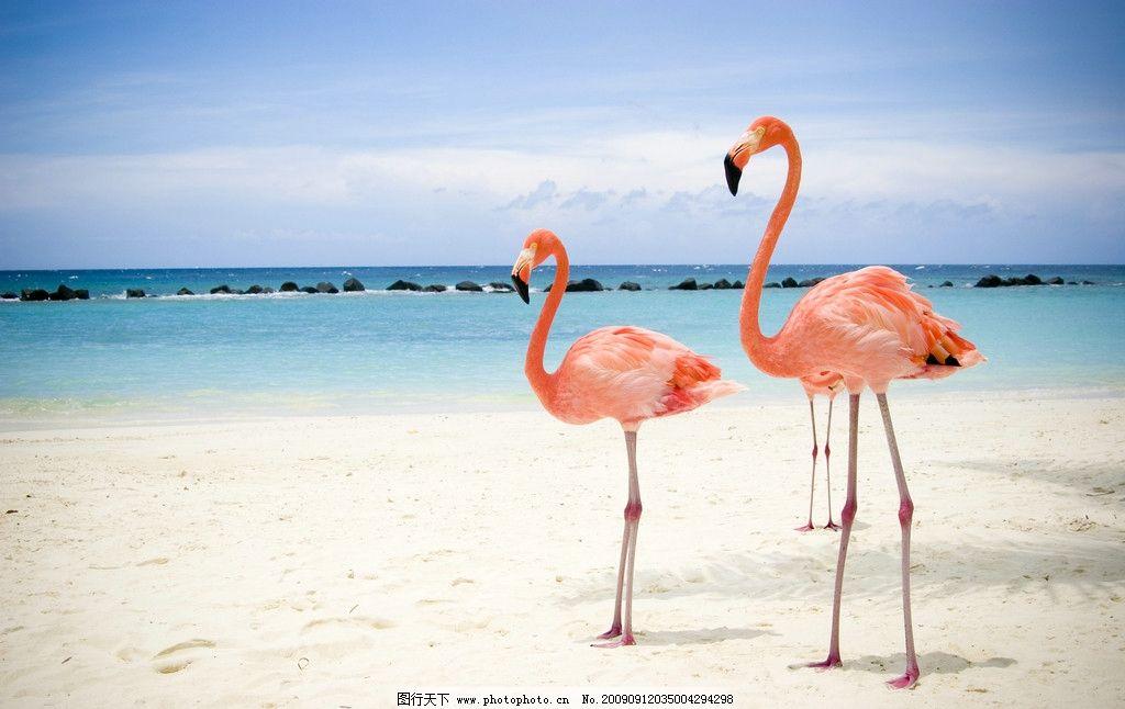 沙滩上的火烈鸟 美丽 海 动物摄影 野生动物 生物世界
