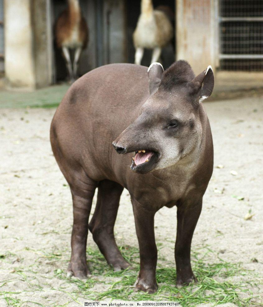 南美貘 奇蹄目 貘科 貘属 哺乳类 野生动物 生物世界 摄影 350dpi jpg