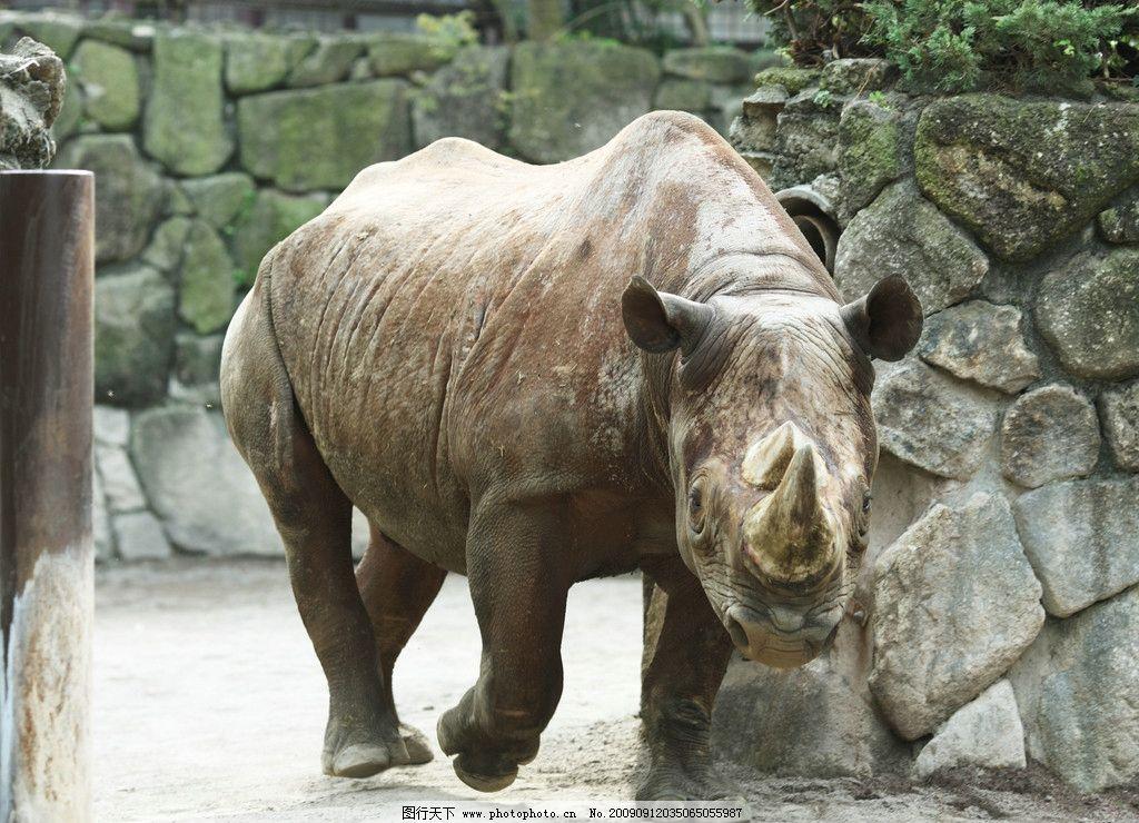 犀牛 犀角 濒危物种 珍稀动物 野生动物 生物世界 摄影 350dpi jpg