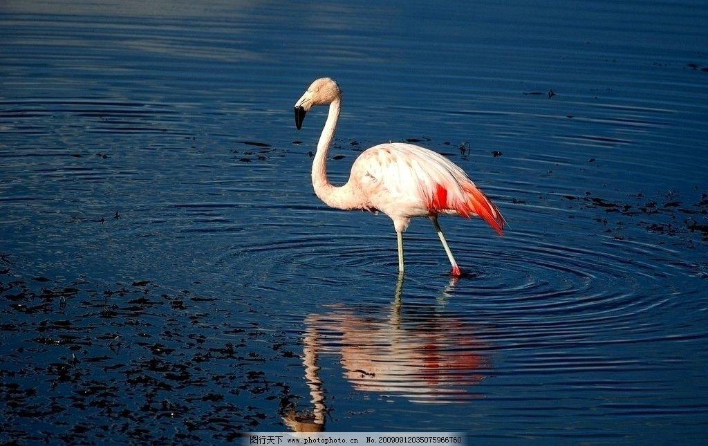 火烈鸟 粉红色 湖 倒影 动物摄影 野生动物 生物世界 300dpi jpg