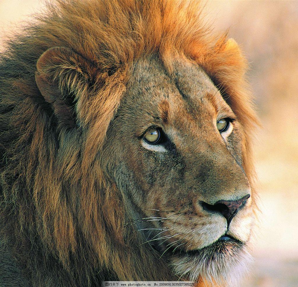 狮子 雄狮高清写真 野生动物 生物世界 摄影 137dpi jpg