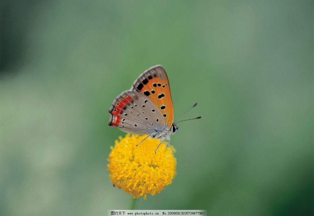 蝴蝶 黄花/停立在黄花上的蝴蝶图片
