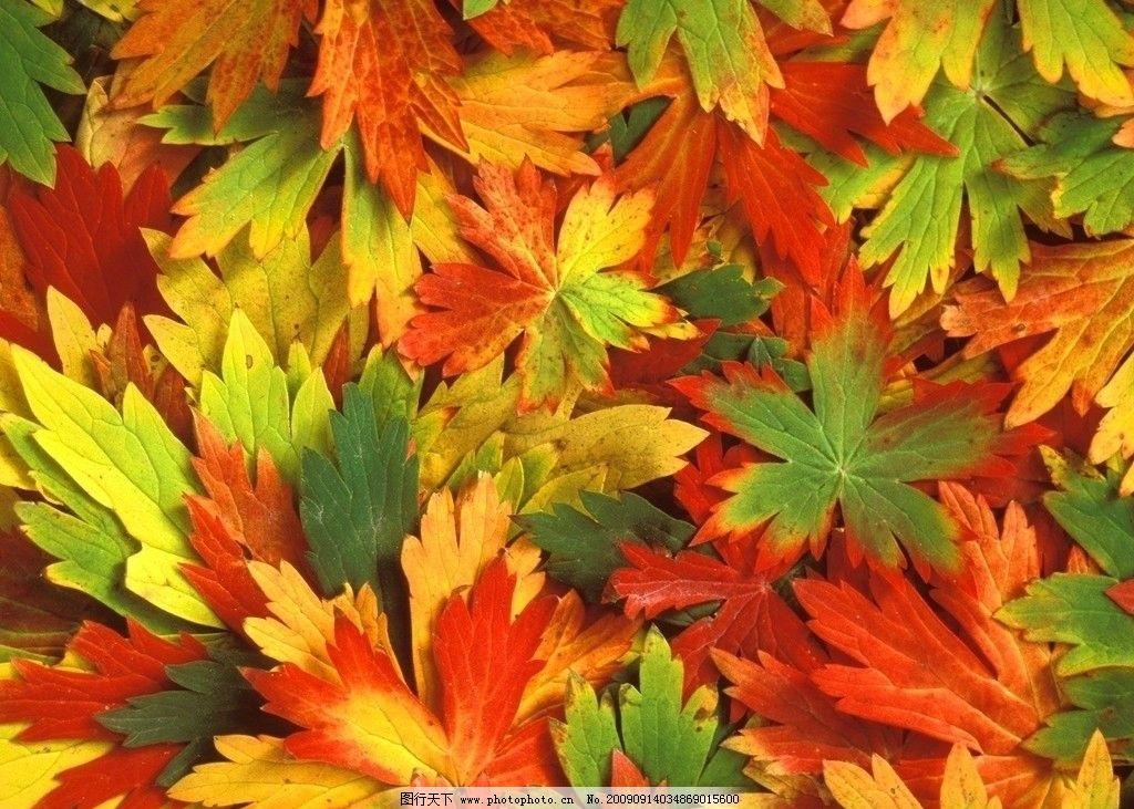 枫叶 风景 自然风景 壁纸 高清 摄影 自然景观 72dpi jpg