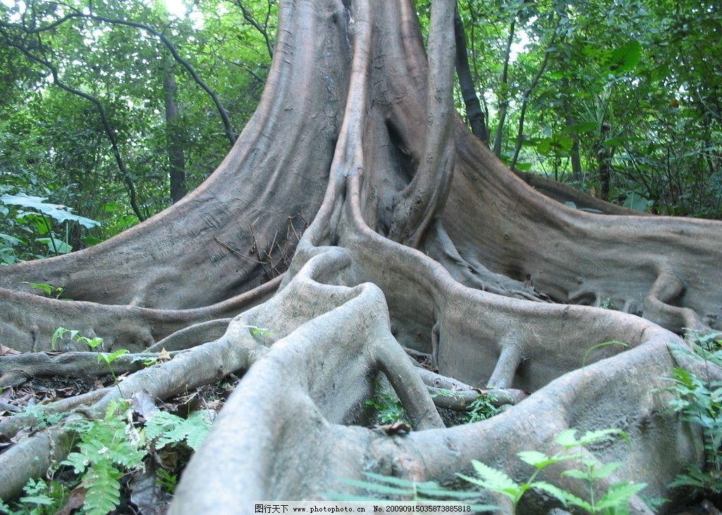 书根 树根 榕树 大树 树木树叶 生物世界 摄影 180dpi jpg