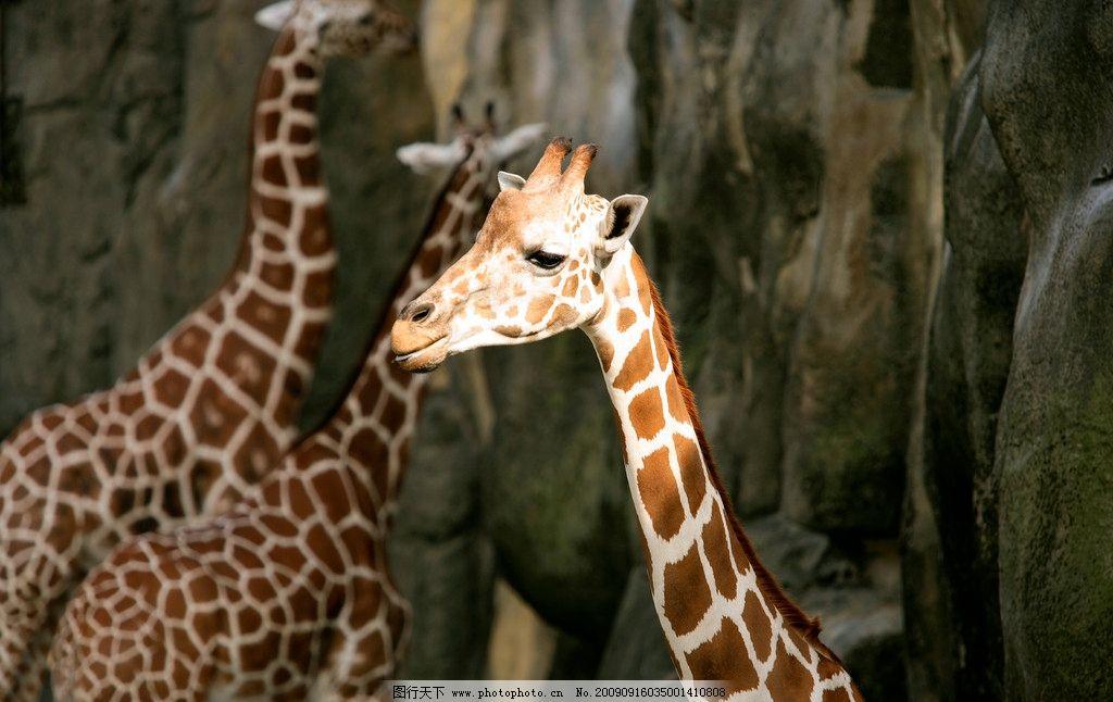 长颈鹿 动物表情 野生动物 生物世界 摄影