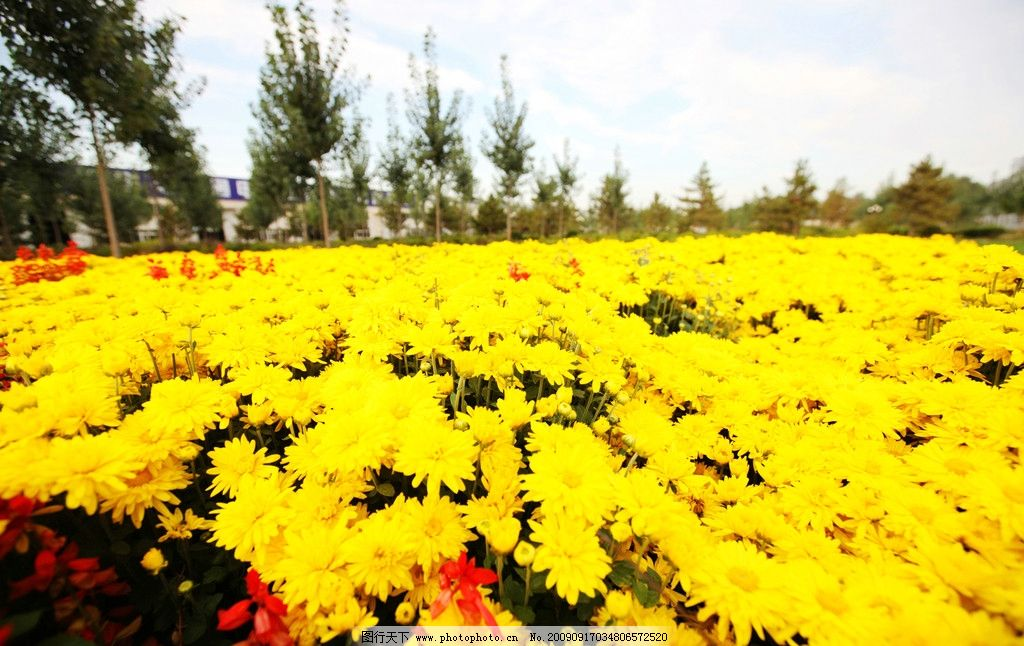 遍地野菊花 小黃花 串紅 苗圃 綠化 園林 自然風光類圖片 自然風景