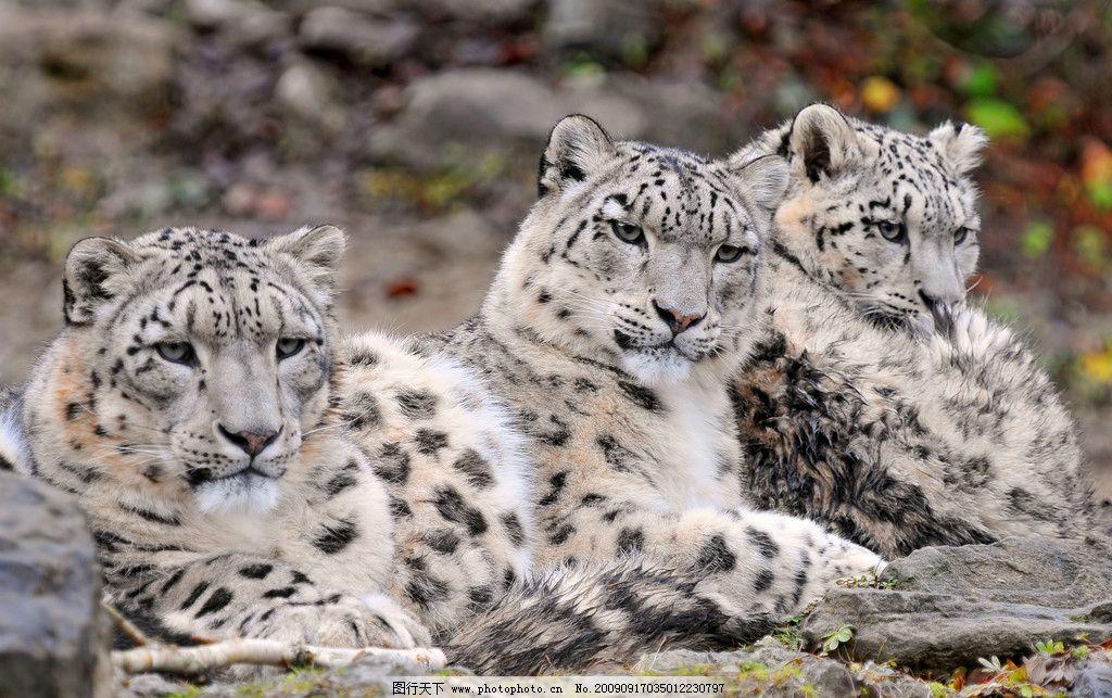 雪豹 濒危物种 国家一级保护动物 草豹 艾叶豹 哺乳纲 食肉目