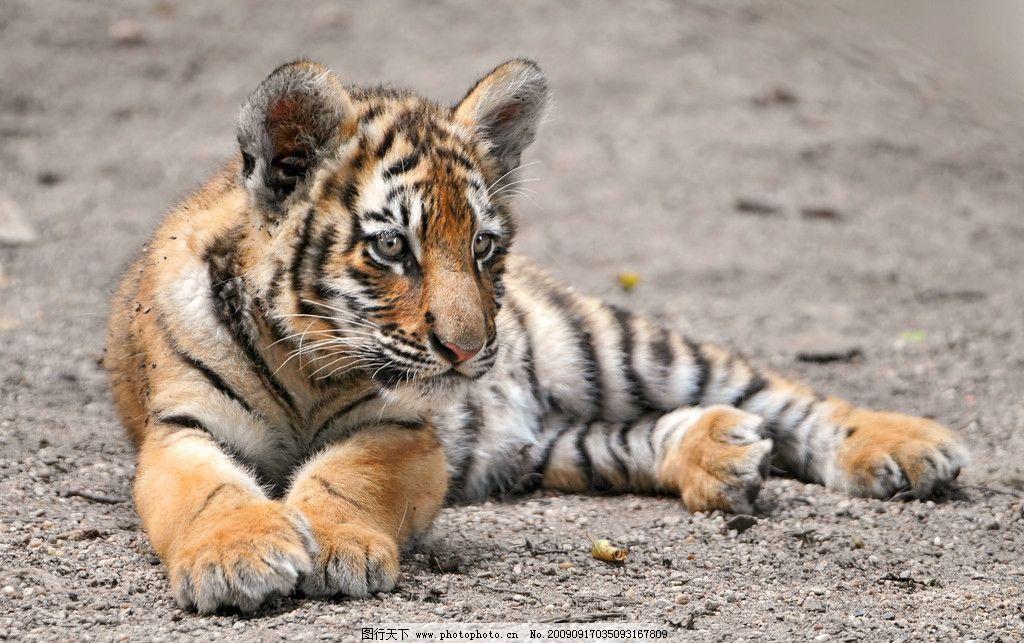 小老虎 虎崽 幼虎 猫科动物 食肉动物 野生动物 生物世界 摄影 300dpi