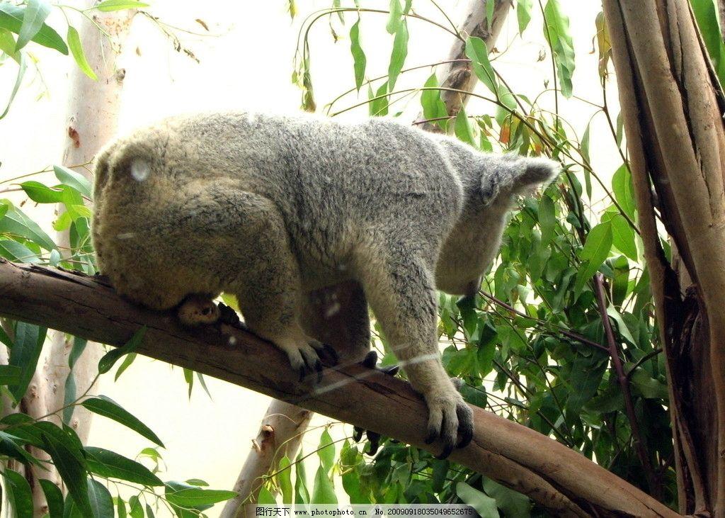 树熊 考拉 野生动物 生物世界 摄影