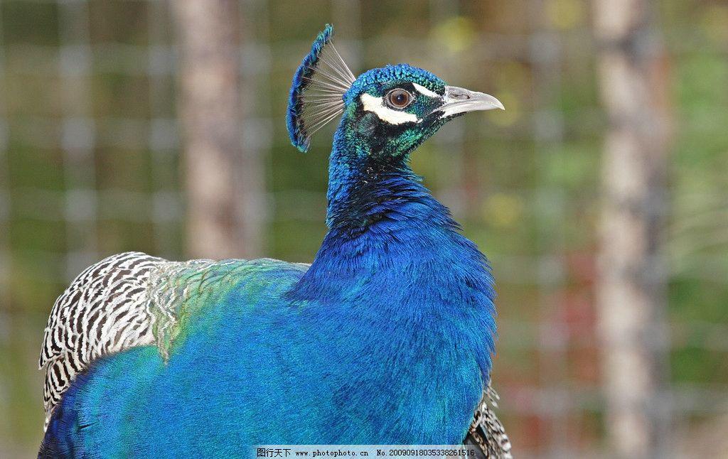 蓝孔雀 生物 飞禽 鸟类 鸟纲 鸡形目 雉科 雉亚科 孔雀属 世界各地