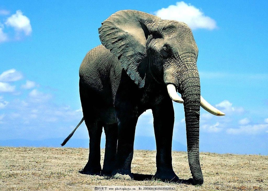 大象图片,自然 摄影 野生动物 生物世界-图行天下图库