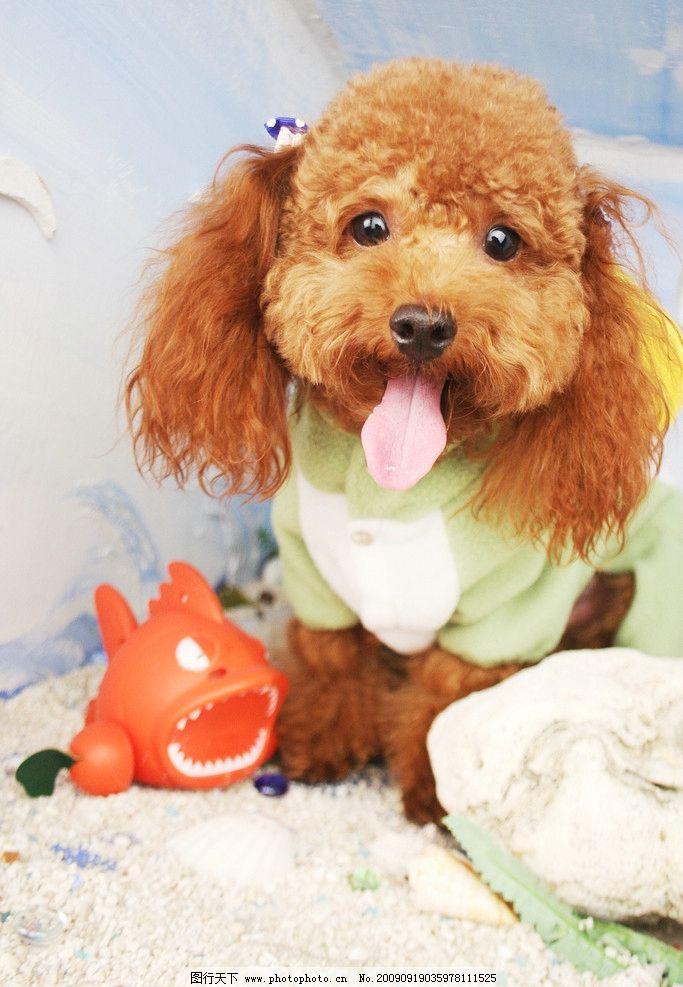 狗狗的艺术照 超可爱红贵宾小型犬狗狗的沙龙艺术照他叫teddy 海洋风
