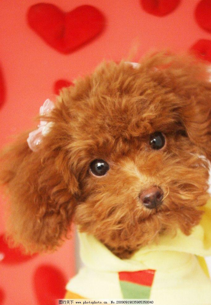 狗狗的艺术照 超可爱红贵宾茶杯犬狗狗的沙龙艺术照他叫bear 爱心歪头