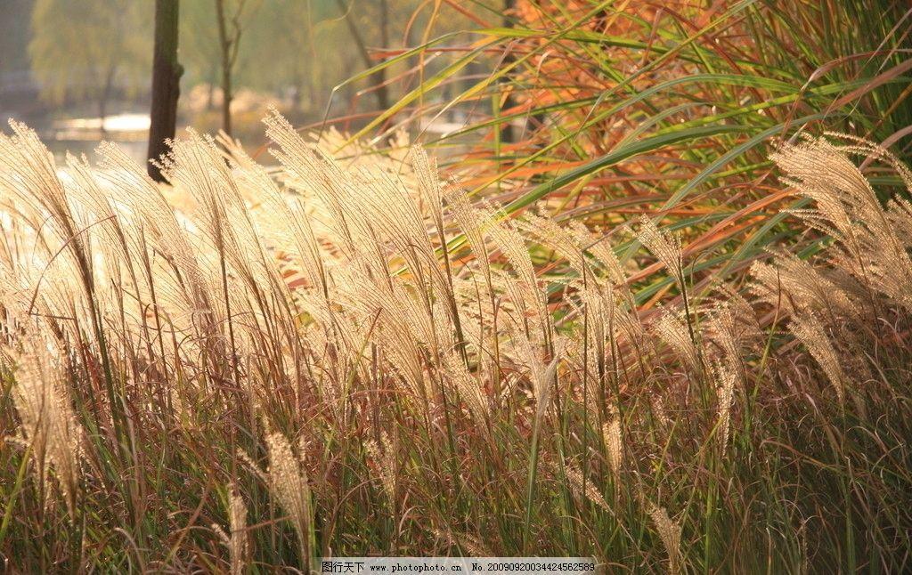 芦苇 秋天的景色 湖边 草 山水风景 自然景观 摄影 72dpi jpg