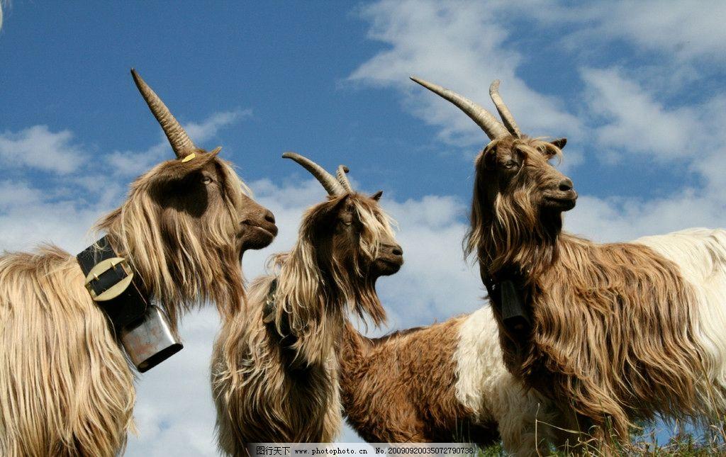 臧铃羊 动物 珍稀动物 国家保护动物 摄影
