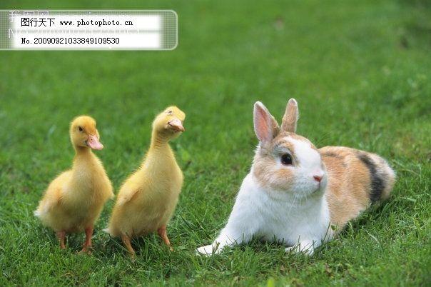 小动物宠物兔鸭27