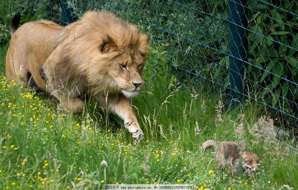 狮子 草地 幼狮 动物摄影 野生动物 生物世界 200dpi jpg