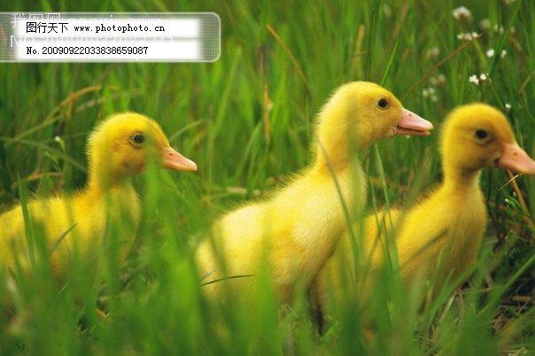 小动物宠物鸭71