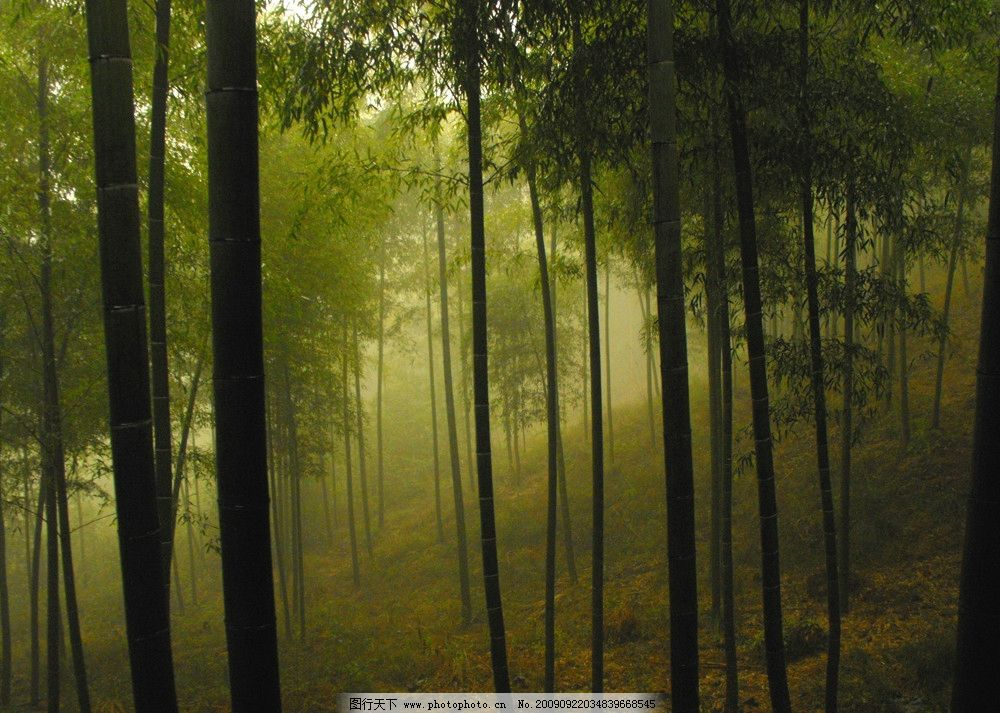竹韵 毛竹 竹子 大雾 山坡 竹林 黄昏 绿色 风景 自然风景 自然景观