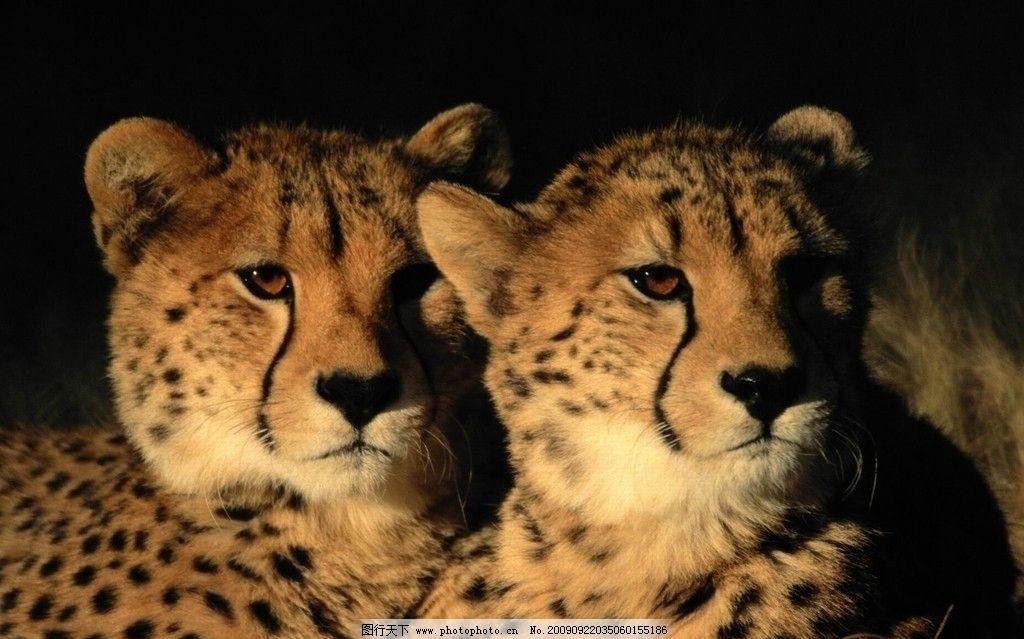 豹 豹子 壁纸 动物 桌面 1024_639