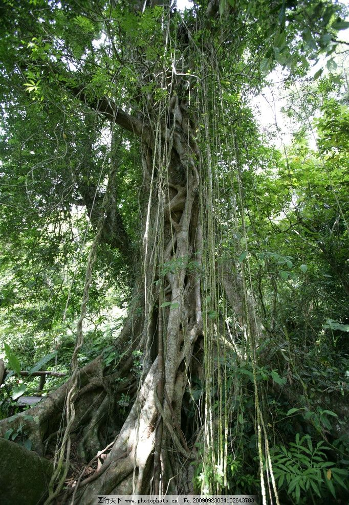 海南热带原始雨林树根图片