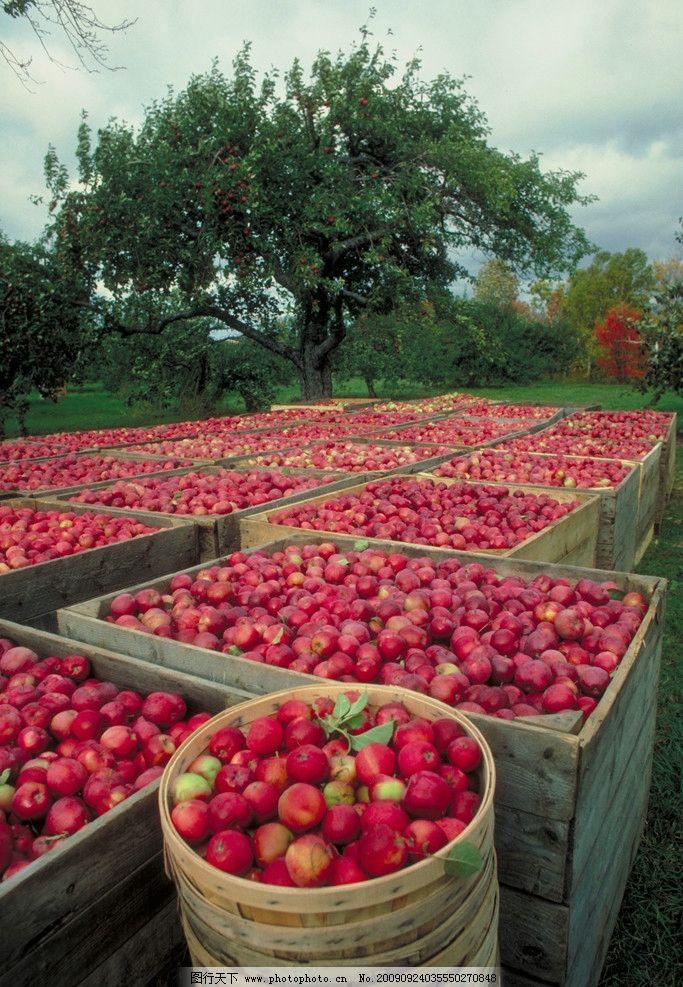 红色的梅子 天空 果树 梅子筐 水果 生物世界 摄影 300dpi jpg
