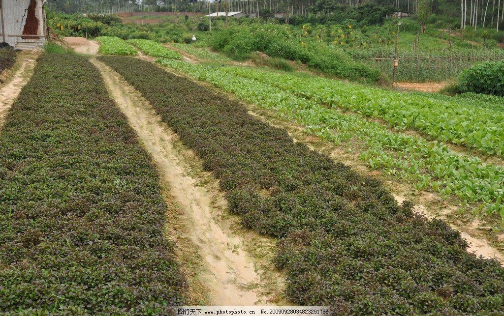 台湾枸杞 枸杞菜 菜地 自然风景 自然景观 摄影 300dpi jpg